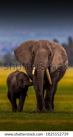 Elephants are the largest land mammalsWild elephants live in families called herds–herds are made up of female elephants.An elephant lives on average to the age of 70–the same as humans elephant♡water #1825552739