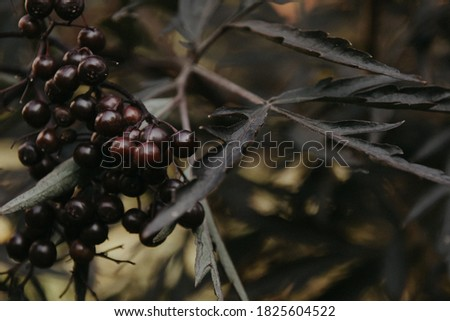 Photo The dark fruits of the plant on an autumn evening. Berries on the bush #1825604522