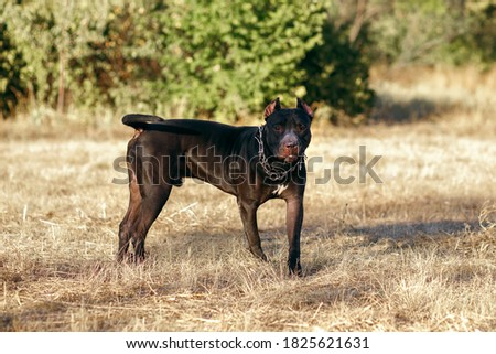 A black pitbull with a chain around his neck looks closely at the owner. Fighting strong dog breed for a walk. Free space for text
