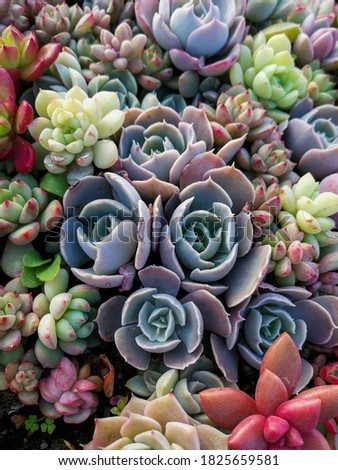 Pretty succulents in the house, cafes, and desks that create a romantic atmosphere and numerous succulents in a green house are really good items for interior decoration. Royalty-Free Stock Photo #1825659581
