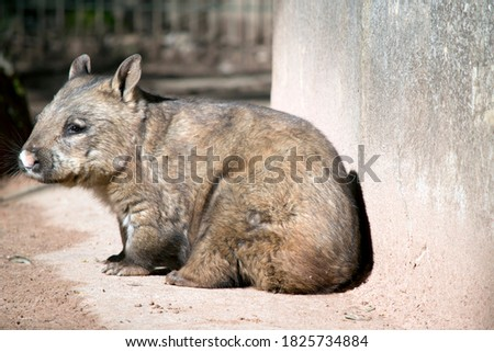 the  hairy nosed wombat is brown with whiskers this one has a pink nose