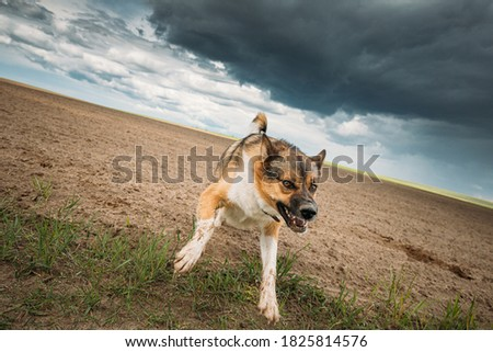 Angry Aggressive Mad Dog Running On Camera. Royalty-Free Stock Photo #1825814576