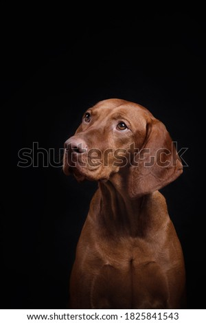 red dog on a black background. Hungarian vizsla Royalty-Free Stock Photo #1825841543