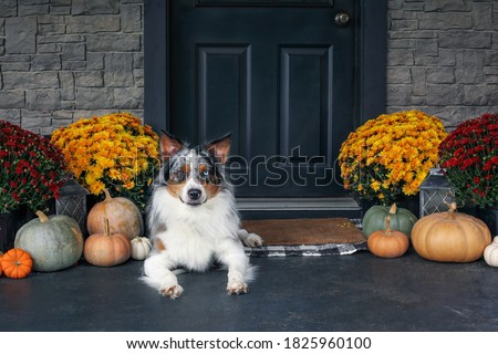 Beautiful juvenile male Blue Merle Australian Shepherd dog lying on a front porch decorated with mums and pumpkins for fall.