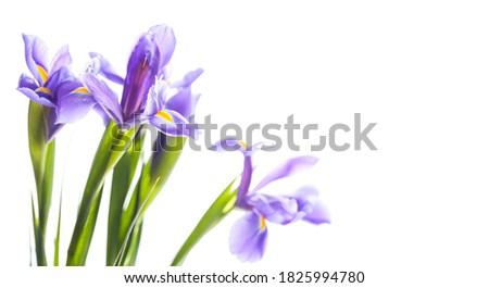 Japanese irises. Decorative flowers isolated on white background, macro photo with selective focus. Iris Laevigata