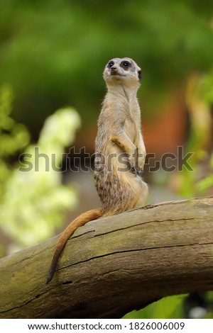 Watching meerkat on a trunk. One meerkat. Merkat. Suricatta.