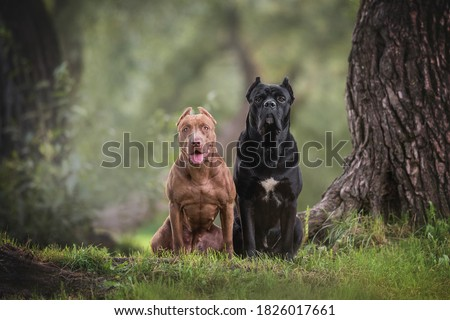 Female American Pit Bull Terrier and male Cane Corso Italianо sitting on green grass among tall trees against the backdrop of a cool evening summer landscape #1826017661