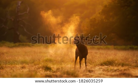 Close up of a Red Deer calling during rutting season at sunrise, UK. Royalty-Free Stock Photo #1826035259
