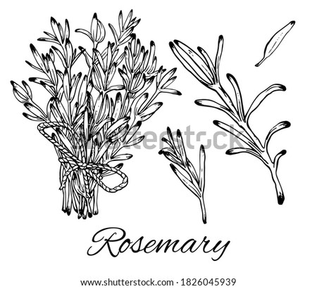 Ink Rosemary hand drawn set. Rosemary bunch and leaves. Vintage botanical art. Medical herb and spice. Retro culinary sketch. Herbal vector illustration isolated on white background Royalty-Free Stock Photo #1826045939