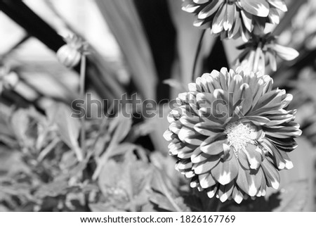 Black and white photograph of a Dahlia flowers in a garden. Converted in photo shop.