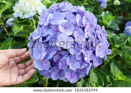 Hand holding picture Blue or purple hydrangeas blooming are hill tribes flowers that are popularly planted in northern Thailand.