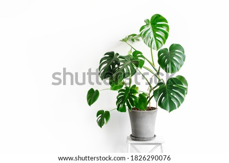 Monstera deliciosa or Swiss cheese plant in a gray concrete flower pot stands on a white pedestal on a white background. Hipster scandinavian style room interior. Empty white wall and copy space. Royalty-Free Stock Photo #1826290076