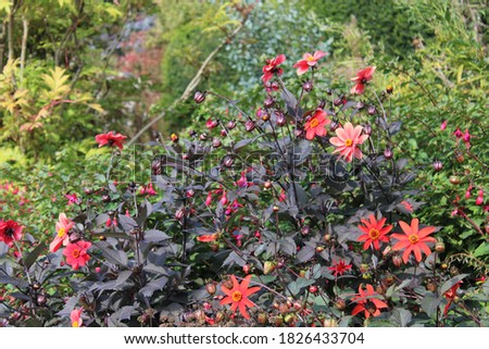 Red flowers amongst green bush shrubbery in english garden in summer time #1826433704