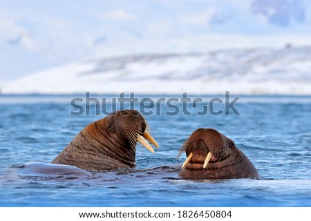 Walrus, Odobenus rosmarus, in the sea water, Svalbard, Norway. Mother with cub. Two walrus male. Winter Arctic landscape with big animal. Ocean mammal fight in the Arctic habitat, walrus.
