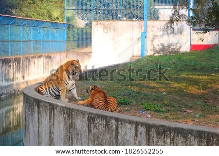A beautiful picture of the mischief of the tiger and the tigress