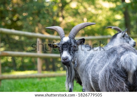 a nice portrait of a goat in a farm whit his beard hanging from the chin.