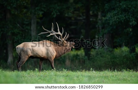 An elk crossing a creek Royalty-Free Stock Photo #1826850299