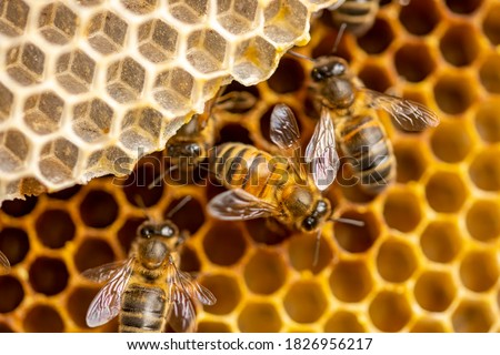 Super close up of individual Apis Mellifera Carnica or Western Honey Bees with great details of the honeycomb structure