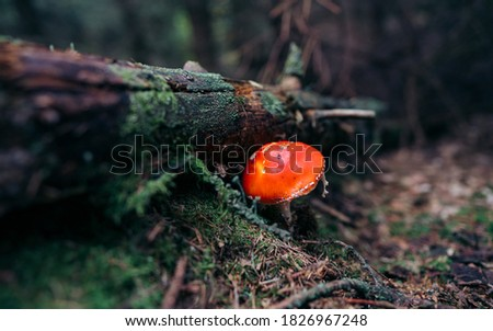 Autumn, time for mushrooms like this fly agaric with its red hood and white dots. Poisonous mushroom in the autumn forest are different. Picture taken in the National park