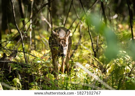 Whitetail deer in autumn woods