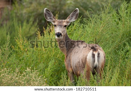 A Mule Deer with ears perked up, keeps an eye on the photographer taking its picture in a New Mexico wildlife area.