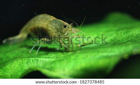 Amano Shrimp in Freshwater Aquarium Royalty-Free Stock Photo #1827378485