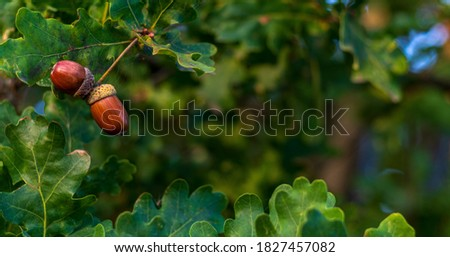 Brown acorns on an oak tree branch in a forest. Closeup oak fruits and leaves on a green background Royalty-Free Stock Photo #1827457082