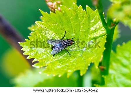 Blowfly, carrion fly, black fly sitting on a green grape leaf close up. Natural background. Royalty-Free Stock Photo #1827564542