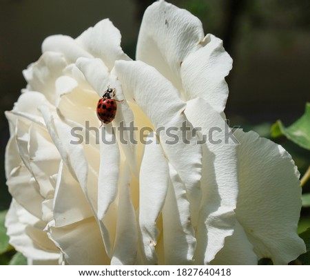 Close up picture of ladybug on a white rose flower.