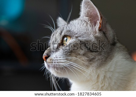 Close-up of a cat face. Portrait of a female kitten. Cat looks curious and alert. Detailed picture of a cats face with yellow clear eyes. Close up of cute feline face