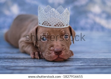 beautiful puppy photo shoot for american pitbull terrier portraits with decor