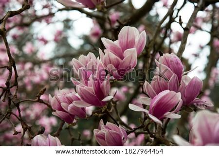 Magnolia Tulip Tree on blue sky background. Magnolia pink flowers on flowering magnolia tree background