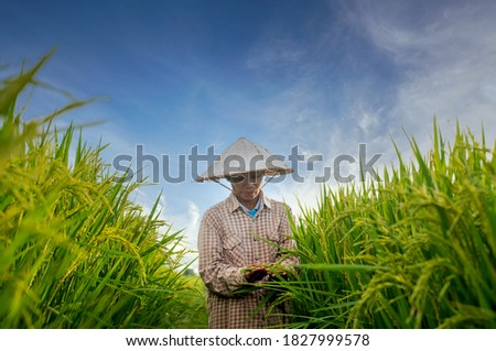 Asian woman farmer explores rice yields in rice fields Agriculture, rice cultivation, the staple food of Southeast Asia Organic Handmade Rice Farm #1827999578