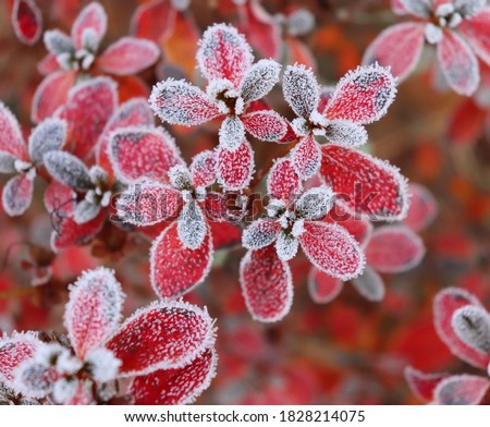 Frozen azalea with red leaves The first frosts, cold weather, frozen water, frost and hoarfrost. Macro shot. Early winter. Blurred background. #1828214075