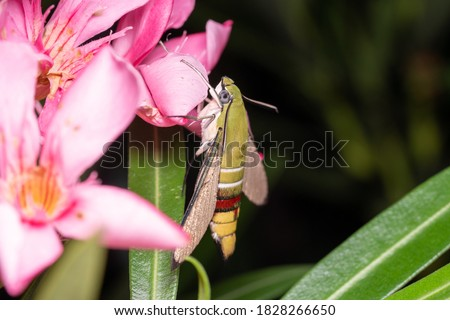 Hummingbird Hawk moths on pink flower