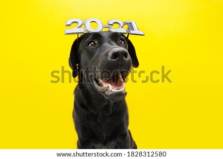 Happy  labrador dog celebrating new year 2021 with text glasses. Isolated on yellow background.	 #1828312580