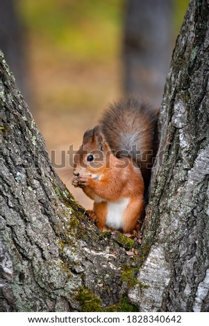 Squirrel eating nuts between two trees.