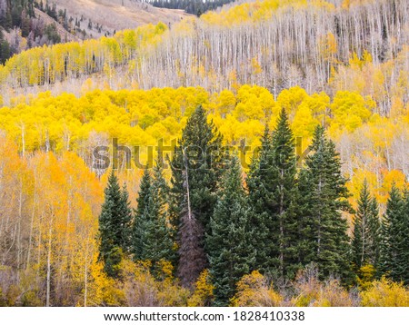 The slopes of the La Sal Mountains of Utah, USA, coverd in fall forests of yellow colored quaking aspen, and evergreen, Douglas-firs, #1828410338