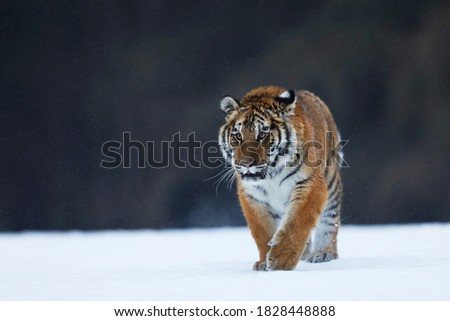 Siberian Tiger walk on snow. Beautiful, dynamic and powerful animal. Typical winter environment. Taiga russia. Panthera tigris altaica Royalty-Free Stock Photo #1828448888