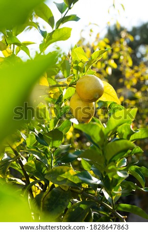 lemon tree with lemons. sunbeam on branch of lemons. garden with lemon tree. close-up on lemons. lemon leaves #1828647863