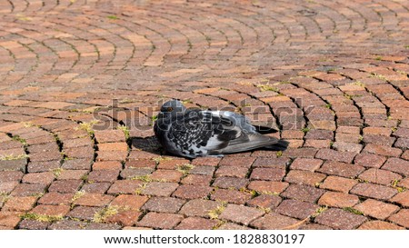 Dove on the cobblestones street. Symbol of peaceful life. the bird is sitting. black and white pigeon. Panoramic picture. Place for text.