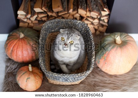 Cute Scottish Fold cat with amber eyes sits in a wicker basket among bright pumpkins. Preparation for the autumn season. Selective focus