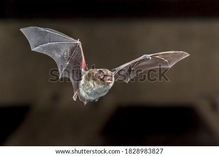 Daubentons bat (Myotis daubentonii) flying on attic of house Royalty-Free Stock Photo #1828983827