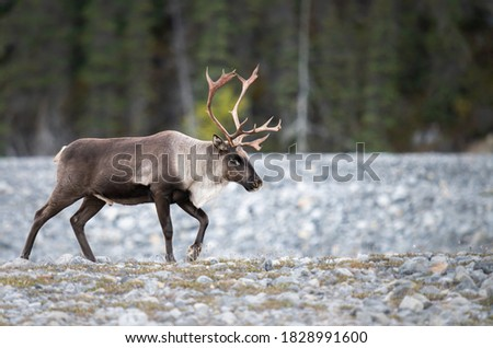Mountain caribou in the wild Royalty-Free Stock Photo #1828991600