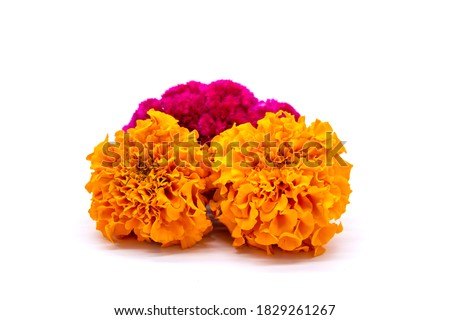 Celosia and Cempasuchil, mexican flowers in Day of the Dead México Royalty-Free Stock Photo #1829261267