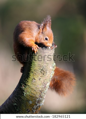 Red Squirrel on post #182965121