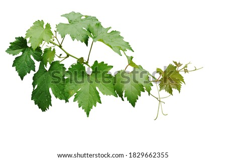 Grape leaves vine branch with tendrils and young leaves after rain in vineyard, green leaves vine plant or grapevines with raindrops isolated on white background with clipping path. Royalty-Free Stock Photo #1829662355