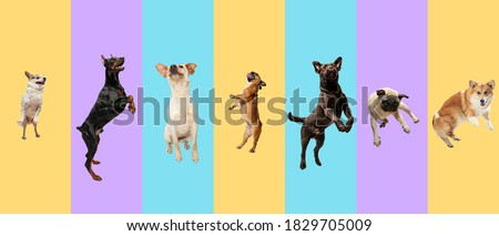 Young dogs, pets jumping high, flying. Cute doggies or pets are looking happy isolated on multicolored background. Studio photoshots. Creative collage of different breeds of dogs. Flyer for your ad. Royalty-Free Stock Photo #1829705009