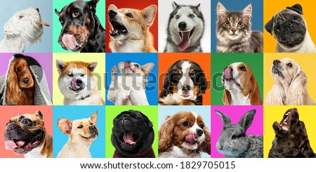 Bright. Young dogs, pets collage. Cute doggies or pets are looking happy isolated on multicolored background. Studio photoshots. Creative collage of different breeds of dogs. Flyer for your ad. Royalty-Free Stock Photo #1829705015