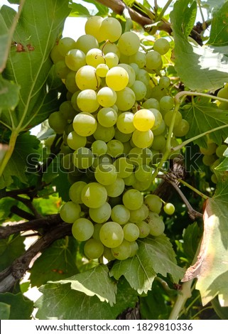 Close up of Grapes Hanging on Branch in Grapes Garden.Sweet and tasty white grape bunch on the vine.Green grapes on vine, shallow depth of field.Branch of grapes ready for harvest.Selective Focus. #1829810336